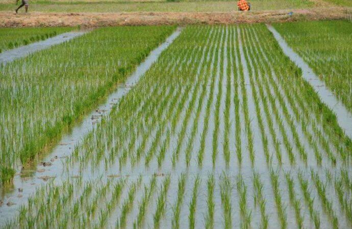 Rice farmers,
