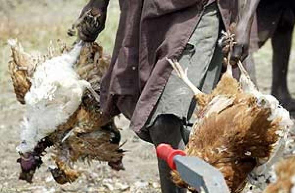 Bird flu in Nigeria