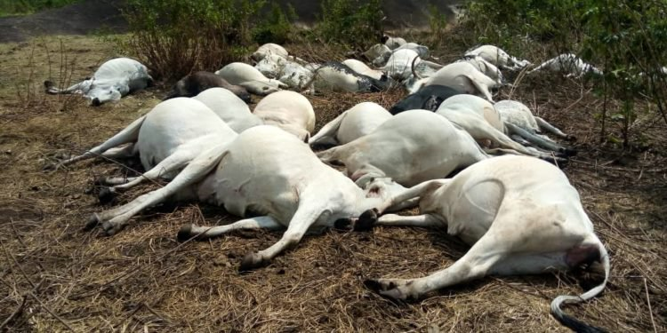 Dead Cows, Thunder, Ondo